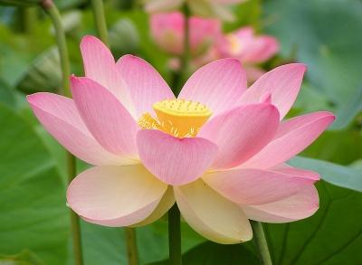 ハス(Sacred Lotus、ピンク)