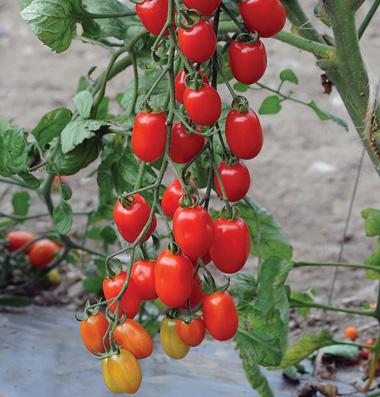 ファイブスターグレープトマト