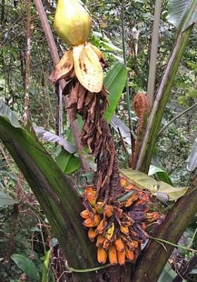 ブラダバナナ