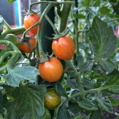 サンライズバンブルビートマト