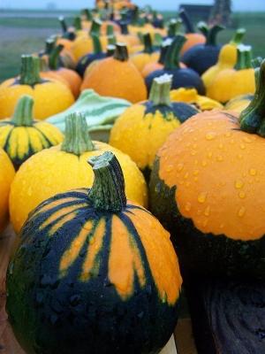 バットウィングかぼちゃ