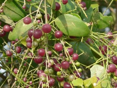 サルバドル・ペルシカ(ツースブラッシュツリー)
