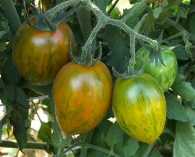 ワイルドタイガートマト