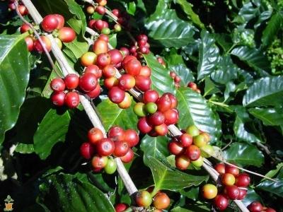 アラビカコーヒーノキ(ナナ)