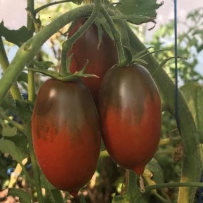 チョコレートストライプアイシクルトマト