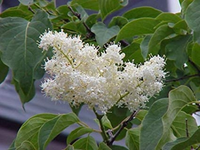 ハシドイ(ドスナラ)の種子