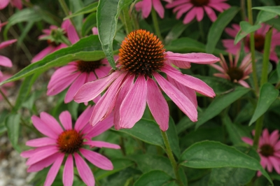 エキナセア(ムラサキバレンギク)の種子