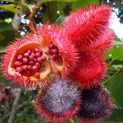 ベニノキ(アチヨテ)の種子