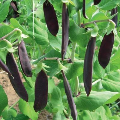 紫スナップエンドウ(古代エンドウ、ツタンカーメンのえんどう豆