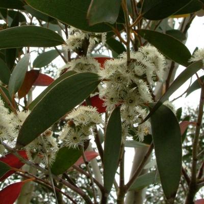 アルパインスノーガム(ニフォフィラ)ユーカリの種子