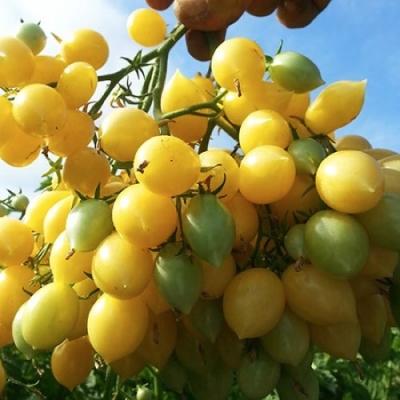 バリーズクレージーチェリートマトの種子