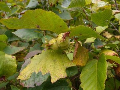 アメリカンヘーゼルナッツ(アメリカハシバミ)の種子