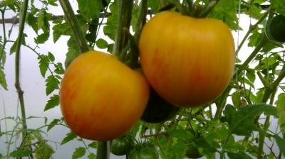 ブリーディングハートトマト