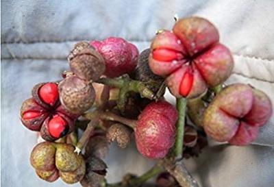 カナクパの種子