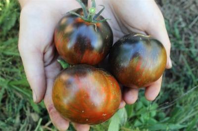 コズミックエクリプストマトの種子