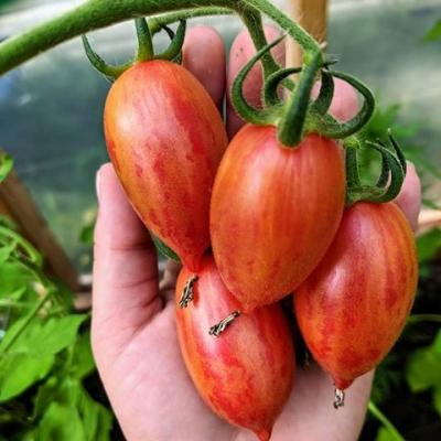 キャンディースイートアイシクルトマトの種子