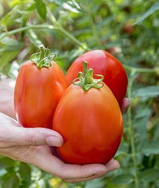 グラディエーターハイブリッドトマトの種子