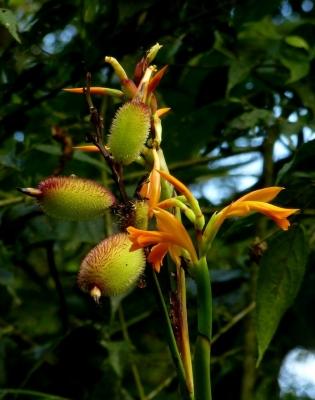 カリビアンカンナの種子