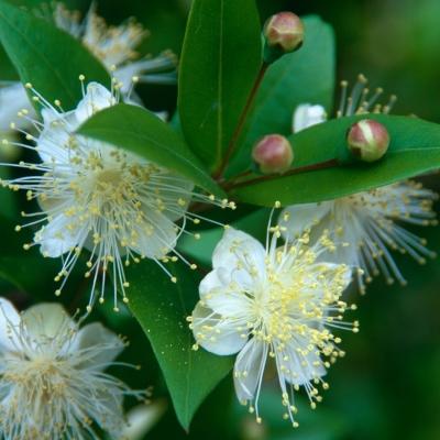 ミルトス(祝いの木、マートル、ギンバイカ)の種子