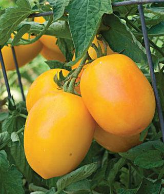 ゴールデンママハイブリッドトマトの種子