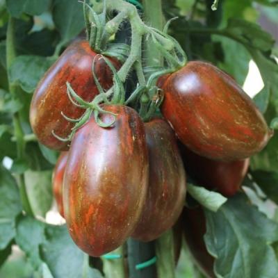 スイートツーストマトの種子