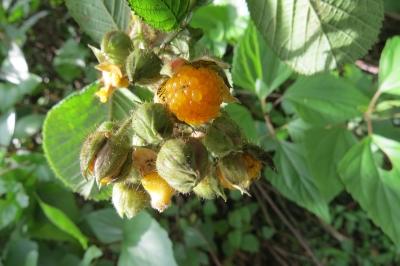 キミノヒマラヤキイチゴ(オニイチゴ、イエローヒマラヤンラズベリー)の種子