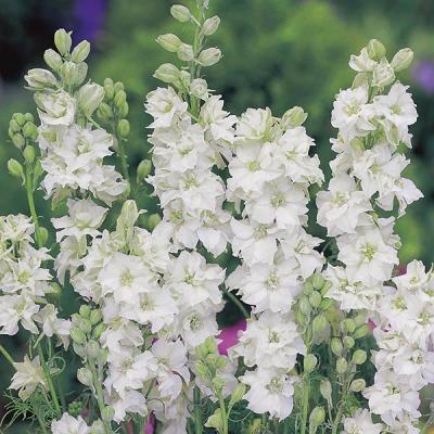 ホワイトラークスパー(千鳥草)の種子