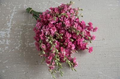 カーマインラークスパー(千鳥草)の種子