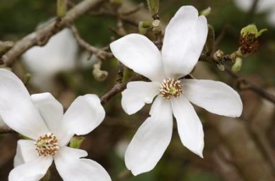 コブシ(辛夷、マグノリア、田打ち桜)の種子