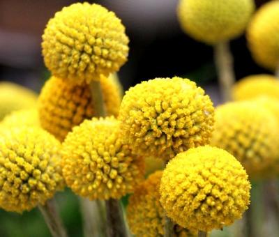 クラスペディア(ビリーバトン、クラスペディア・グロボーサ)の種子