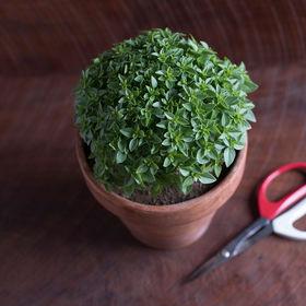 プルートバジル(ファインリーフ)の種子