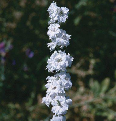 サブライムホワイトラークスパー(千鳥草)の種子