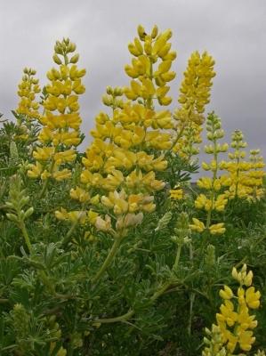 イエローブッシュルピナス(宿根ルピナス、ルピナス・アルボレウス)の種子
