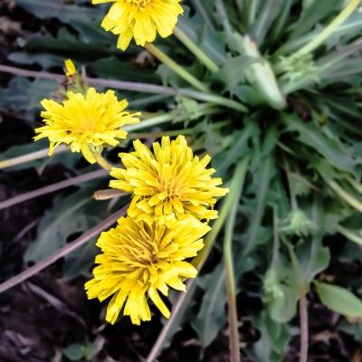 ゴムタンポポ(ロシアンダンデライオン)の種子