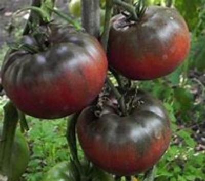 ブラッククリムトマトの種子