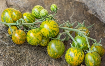 グリーンゼブラチェリートマトの種子