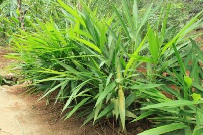 ガランガル(ナンキョウ、カー、タイジンジャー)の種子