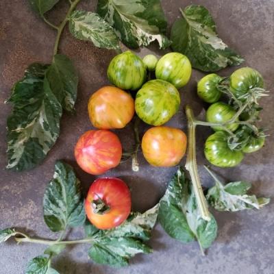 ペインテッドレディートマトの種子