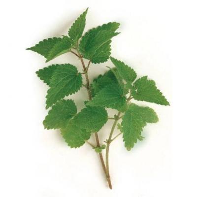 ウルチカ・ディオイカ(セイヨウイラクサ、ネトル)の種子
