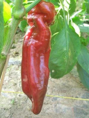 ドゥルセイタリアーノスイートペッパー(パプリカ)の種子