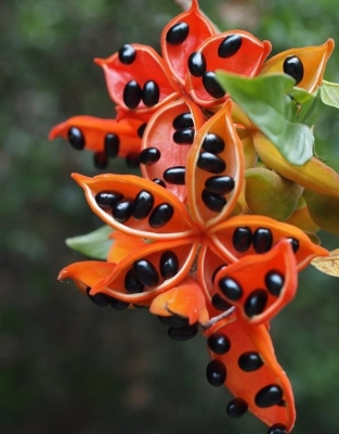 エレファントロープツリーの種子