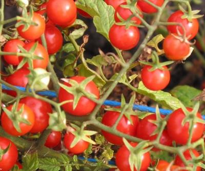 ピッコロチェリートマトの種子