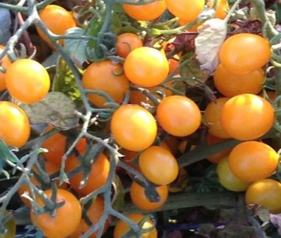オレンジベリートマトの種子