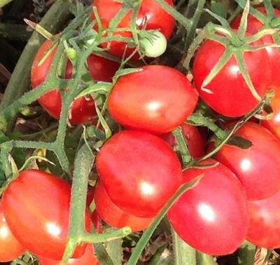 ブランディースイートプラムトマトの種子