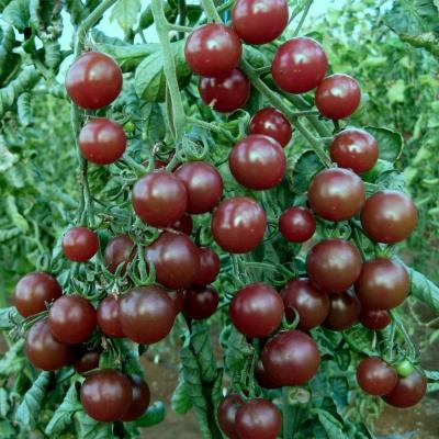 ブラックパールハイブリッドトマトの種子