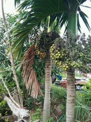ビンロウヤシ(ビンロウジ、檳榔椰子)の種子