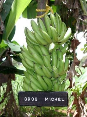 グロスミッチェルバナナ(奇跡のバナナ)の苗