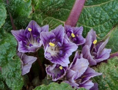 マンドレイク(マンドラゴラ)の種子
