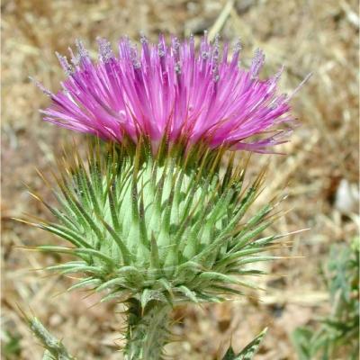 ゴロツキアザミ(コットンシスル、スコティッシュシスル)の種子