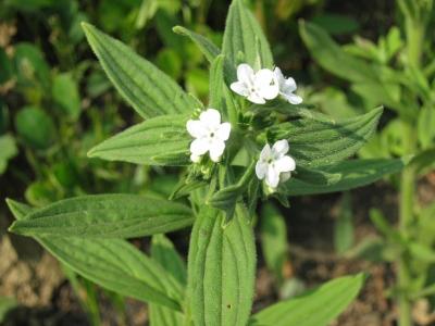 ニホンムラサキ(紫草)
